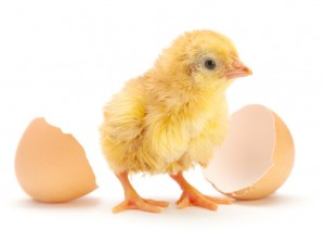 Newborn chicken with egg shell isolated on white